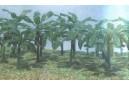 1/72 Banana Trees